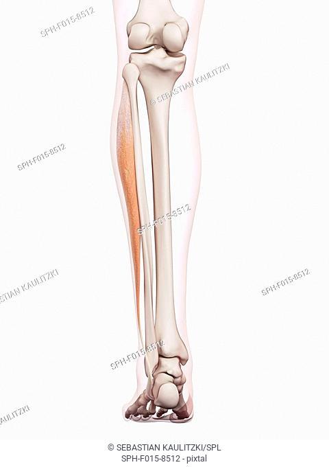 Human leg muscles, illustration