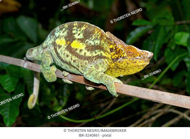 Parson's Giant Chameleon (Calumma parsonii parsonii), Voimana, Ost-Madagaskar, Madagascar