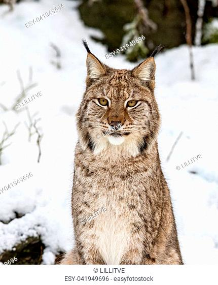 Eurasian lynx, Lynx lynx, sitting in the snow in Norway