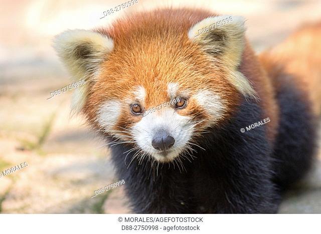 Asia, China, Sichuan, Research Base of Giant Panda Breeding or Chengdu Panda Base, Red Panda (Ailurus fulgens), captive, on the ground