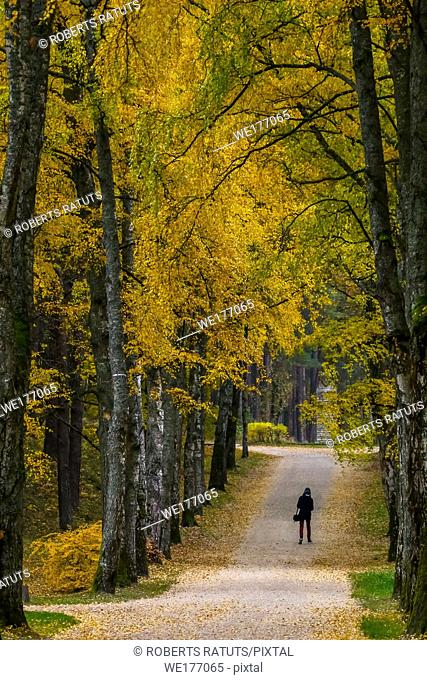 Autumn in city park. Colorful leaves in sun light. One man in birch alley. Birches with yellow and green leaves in autumn day