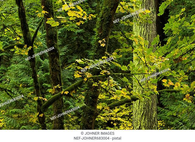 Temperate rainforest and maple-trees, Columbia River Gorge, Oregon, USA