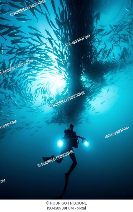 Underwater view of scuba diver diving below shoaling jack fish in blue sea, Baja California, Mexico