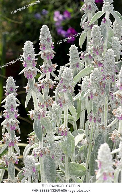 Lamb's-ear or wooly hedgenettle, Stachys byzantina, a highly insect attracting ornamental garden plant in flower, Berkshire, July