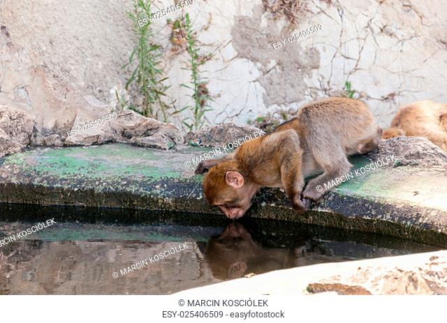 barbary macaque monkey in gibraltar drinking water