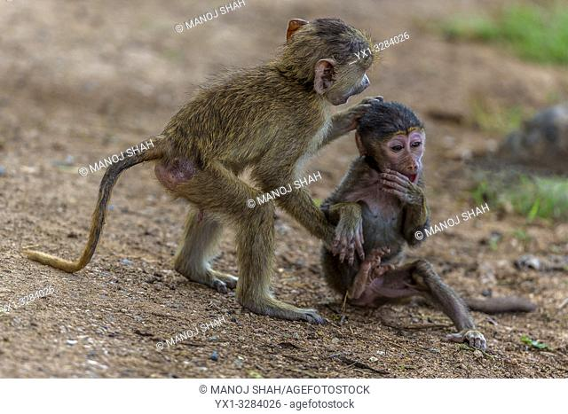 Yellow baboon youngsters playing in Amboselli National Park