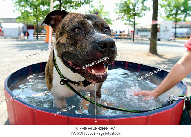An American Staffordshire Terrier cooling off in a pool at the animal shelter in Berlin, Germany 5 July 2015. Hundreds of people are expected to attend the day
