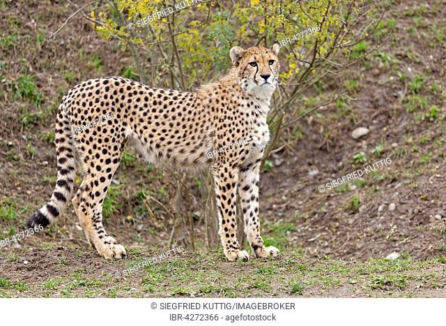 Cheetah (Acinonyx jubatus), captive