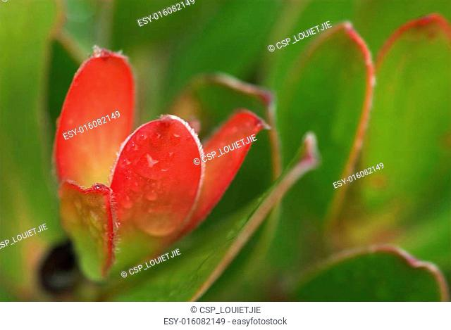 Protea bud #1