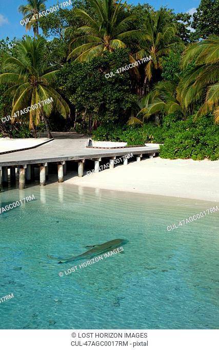 Shark swimming on tropical beach