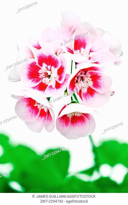 Pelargonium variety White Splash, semi doble bicolor flowers with bright green foliage