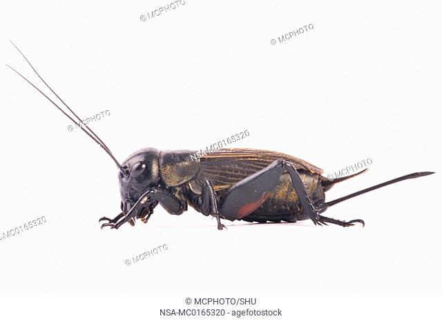 femality field cricket Gryllus campestris