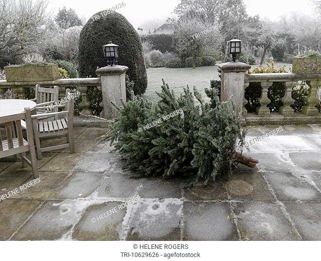 Surrey England Used Christmas Tree Awaiting Collection After Christmas In Garden
