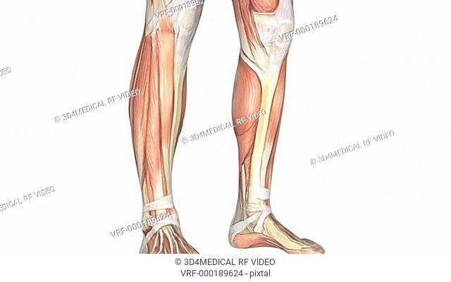 Animation depicting the skeletal system within the muscular system. The camera pans up from the feet to the head and then zooms out to show the full body...