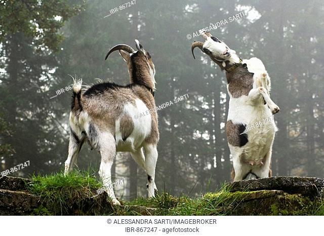 Domestic Goats (Capra hircus hircus) rising and fighting each other on a mountain pasture, North Tyrol, Austria, Europe