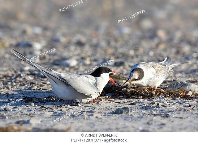 Arctic tern (Sterna paradisaea) feeding fish to chick on beach in summer