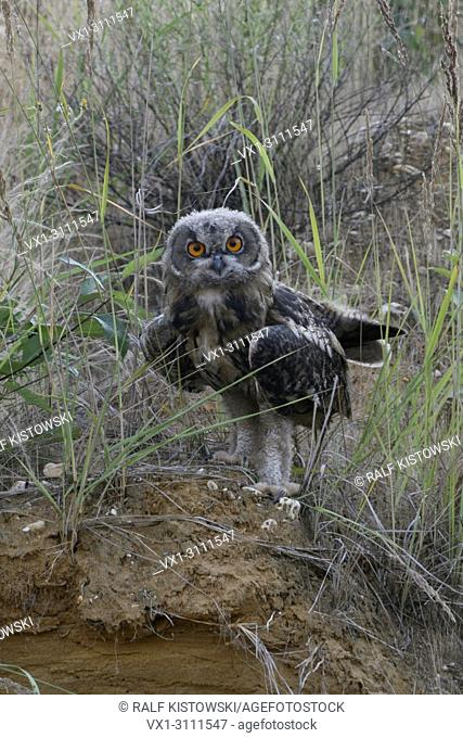 Eurasian Eagle Owl / Europaeischer Uhu ( Bubo bubo ), young, moulting plumage, fledged, perched on the scarp of a sand pit, looks funny, wildlife, Europe