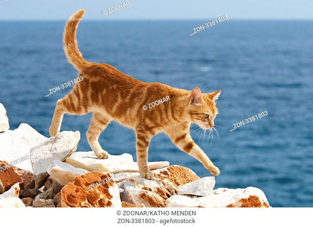 Hauskatze, rotgestromt, am Klippenrand mit Meerblick, Kykladen / Cat, red classic tabby, at the edge of a cliff with ocean view, Cyclades, Greece
