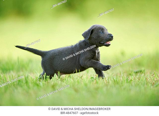 Black Labrador Retriever, pup running on a meadow, Germany