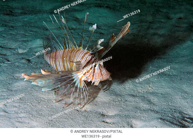 Red lionfish (Pterois volitans) in night diving. Red Sea, Egypt, Africa