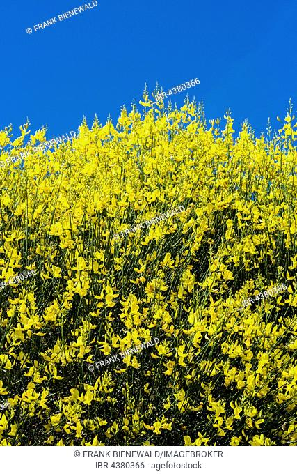 A blooming yellow broom bush (Genista) and blue sky, Val d'Orcia, Tuscany, Italy