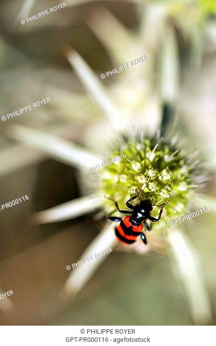 TRICHODES ALVEARIUS, SOLDIER OR CHECKERED BEETLE, ON A THISTLE, THE FAUNA OF PROVENCE, FRANCE