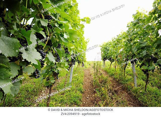 Landscape of a vineyard