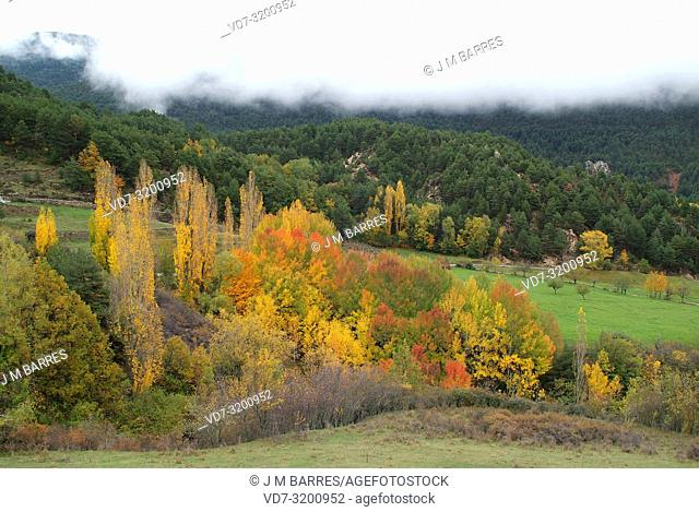 Black poplar (Populus nigra) and aspen (Populus tremula) ar a deciduous trees natives to Eurasia. This photo was taken in La Cerdanya, Girona province