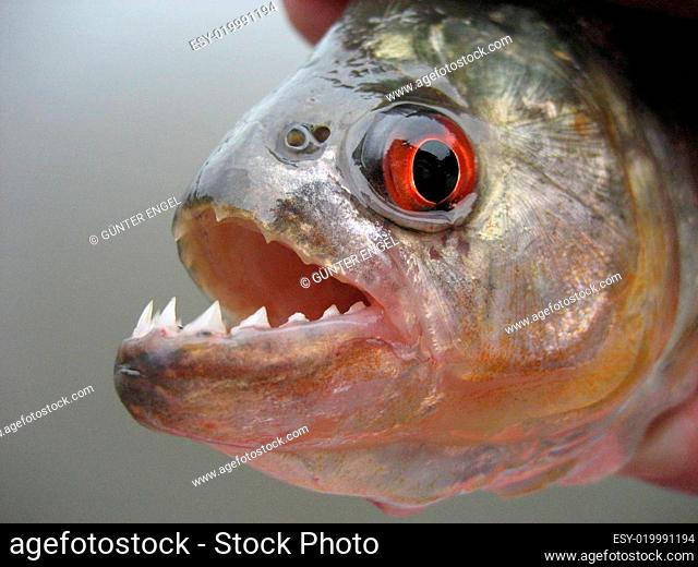 Piranha in Amazonien
