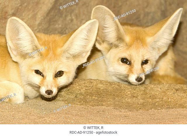 Fennec Foxes pair Vulpes zerda