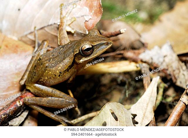 Four-lined Tree Frog (Polypedates leucomystax) in Kubah national park, Sarawak, Malaysia, Borneo
