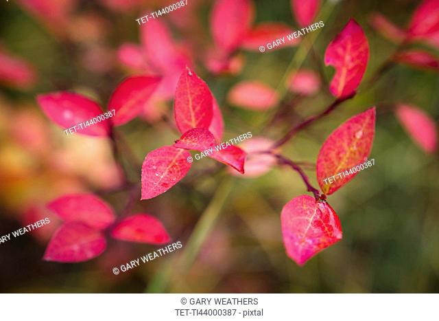 Pink leaves of tree