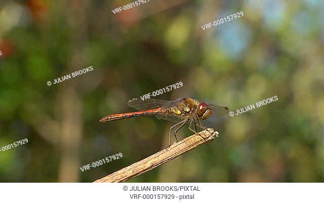 Red-veined Darter dragonfly at rest, side view