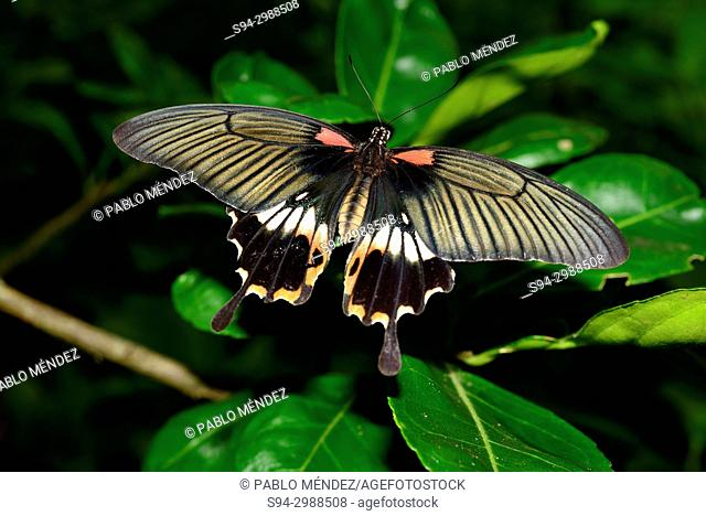 Butterfly (Lepidoptera) in Koh Trong island, Kratie province, Cambodia