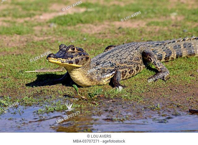 Brazil, Pantanal, cayman, Caiman yacare, riverside