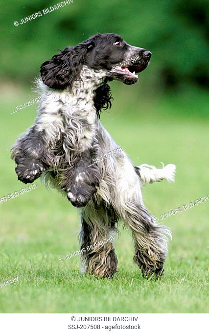 English Cocker Spaniel. Adult standing upright on grass. Germany