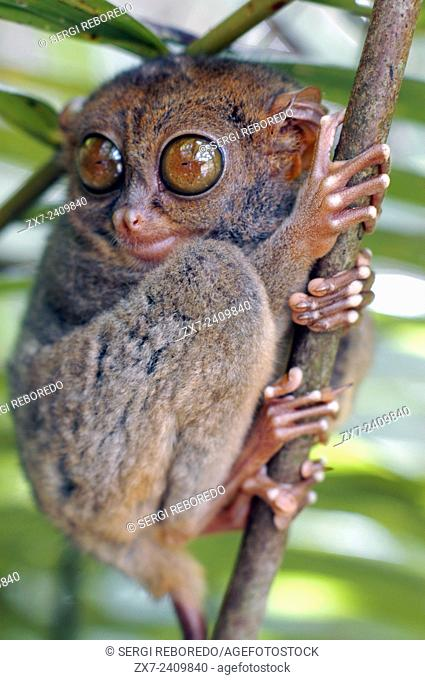 Tarsier. Tarsius Syrichta. Bohol. Las Visayas. Philippines. Tarsiers are haplorrhine primates of the family Tarsiidae, which is itself the lone extant family...