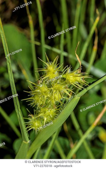 Sandspur (Cenchrus tribuloides)