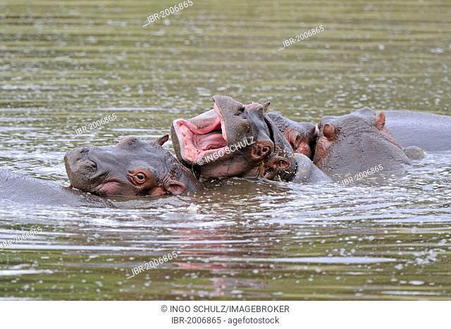 Hippopotamuses (Hippopotamus amphibius) in the water, Maasai Mara National Reserve, Kenya, East Africa, Africa