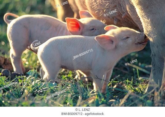 domestic pig (Sus scrofa f. domestica), sow nursing piglets