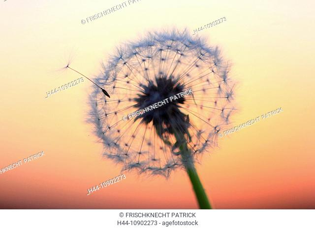 Flower, detail, dusk, twilight, flora, flight, reproduction, back light, sky, ease, light, air, dandelion, macro, morning, Morning-red, close-up, plant, puff