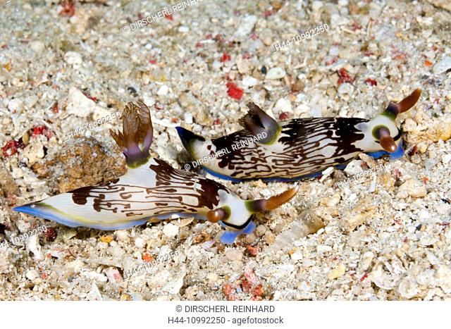 Two Dorid Nudibranch, Nembrotha lineolata, Komodo National Park, Indonesia