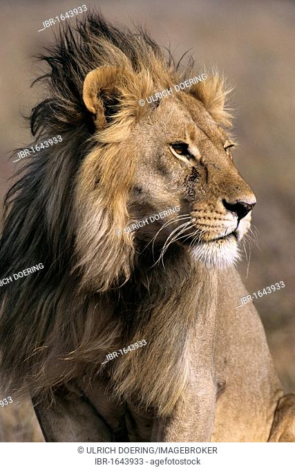 Portrait of a male lion (Panthera leo), Lake Ndutu, Ngorongoro Crater, UNESCO World Heritage Site, Tanzania, Africa