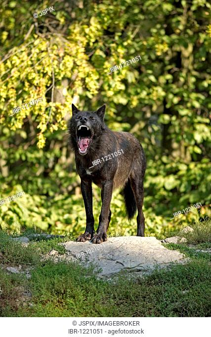 Eastern Canadian Wolf or Eastern Canadian Red Wolf (Canis lupus lycaon), adult, yawning, American habitat