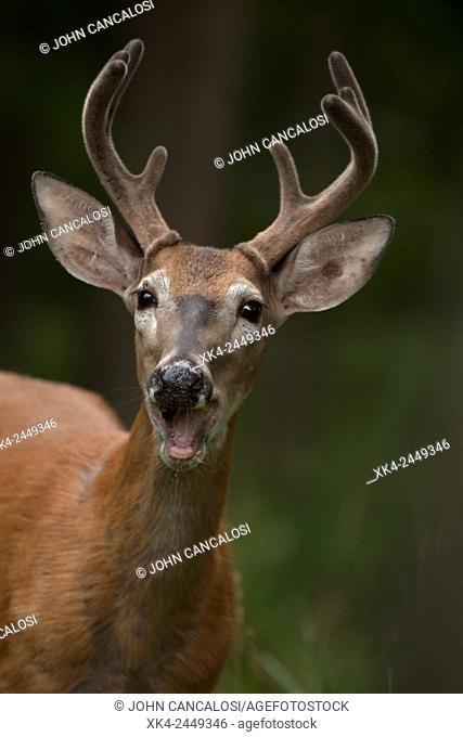 White-tailed deer (Odocoileus virginianus), New York, USA