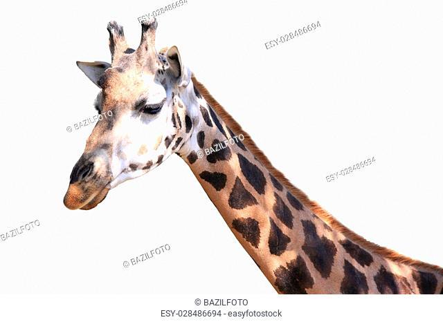 portrait giraffe isolated on white background