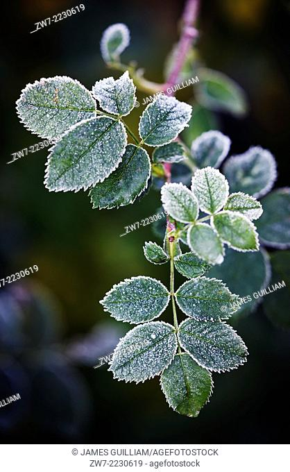 Rosa, Rose plant covered with frost