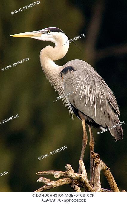 Great blue heron (Ardea herodias), portrait breeding plumage. Venice, FL, USA