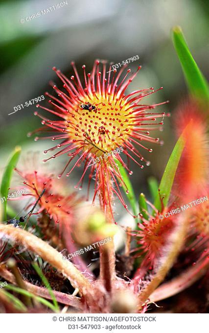 Sundew, Drosera rotundifolia, Mull, Scotland