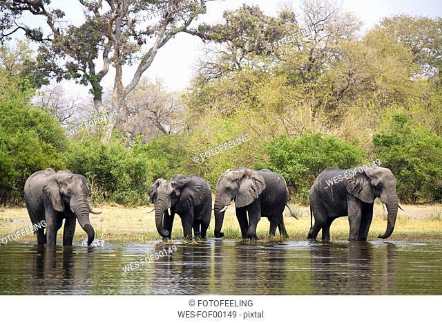 Africa, Botswana, Elefants at Khwi River